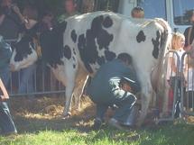 La 25 ème édition de la fête de la vache se prépare à Grosbreuil
