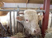 Salon de la race bovine charolaise les 20 et 21 novembre à la Roche-sur-Yon