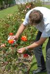 Initiez-vous aux techniques de taille des rosiers ce week-end aux serres de la Mérinière