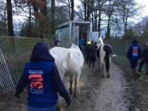 Sauvetage d'urgence d'une centaine de chevaux à Challans