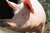 Projet de porcherie industrielle à Poiroux, prochaine étape le 7 avril