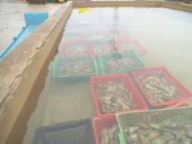 La coquille d'huître, ça se recycle du côté de la communauté de communes du Pays des Herbiers