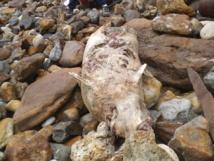 Un dauphin échoué vers la pointe du Payré