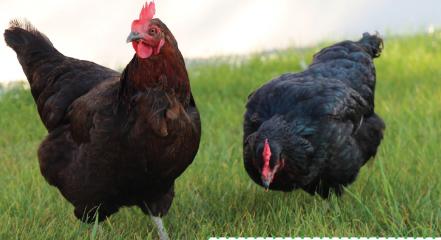 """Opération pilote """"1 poule, 2 poules … 3 fois moins de déchets"""""""
