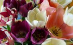 50 000 tulipes pour la lutte contre le cancer