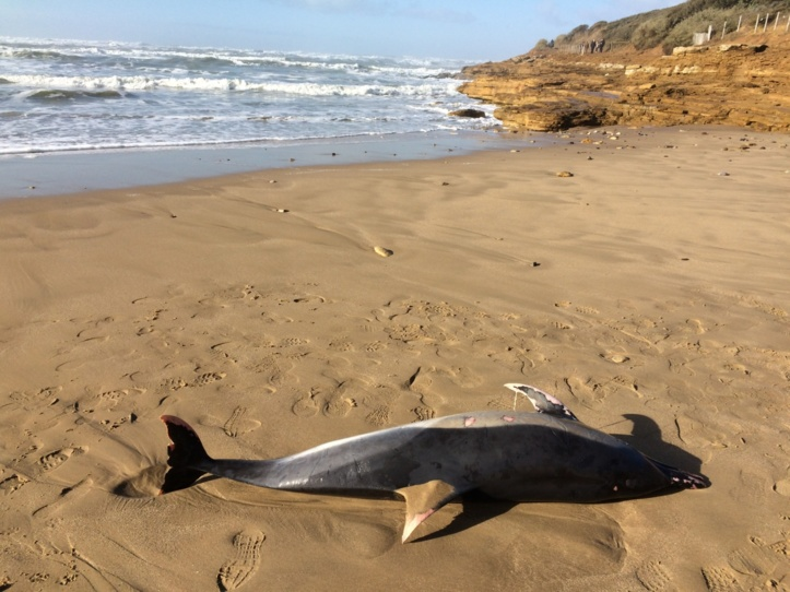 Un dauphin sur la plage du Veillon ce samedi 4 février
