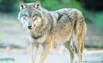 Faune sauvage: un loup identifié en Vendée du côté de Jard-sur-Mer